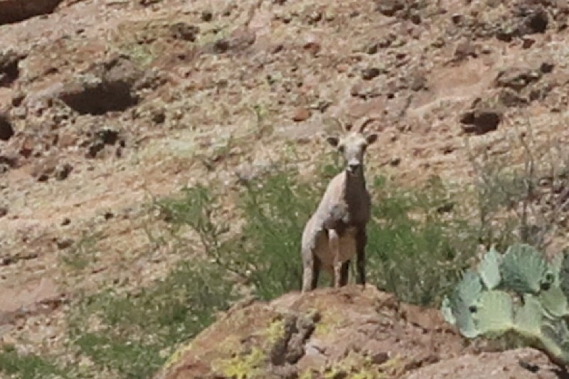 Our first Big Horn Sheep sighting