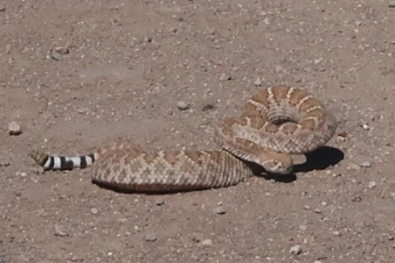 Rattlesnake in the dirt road