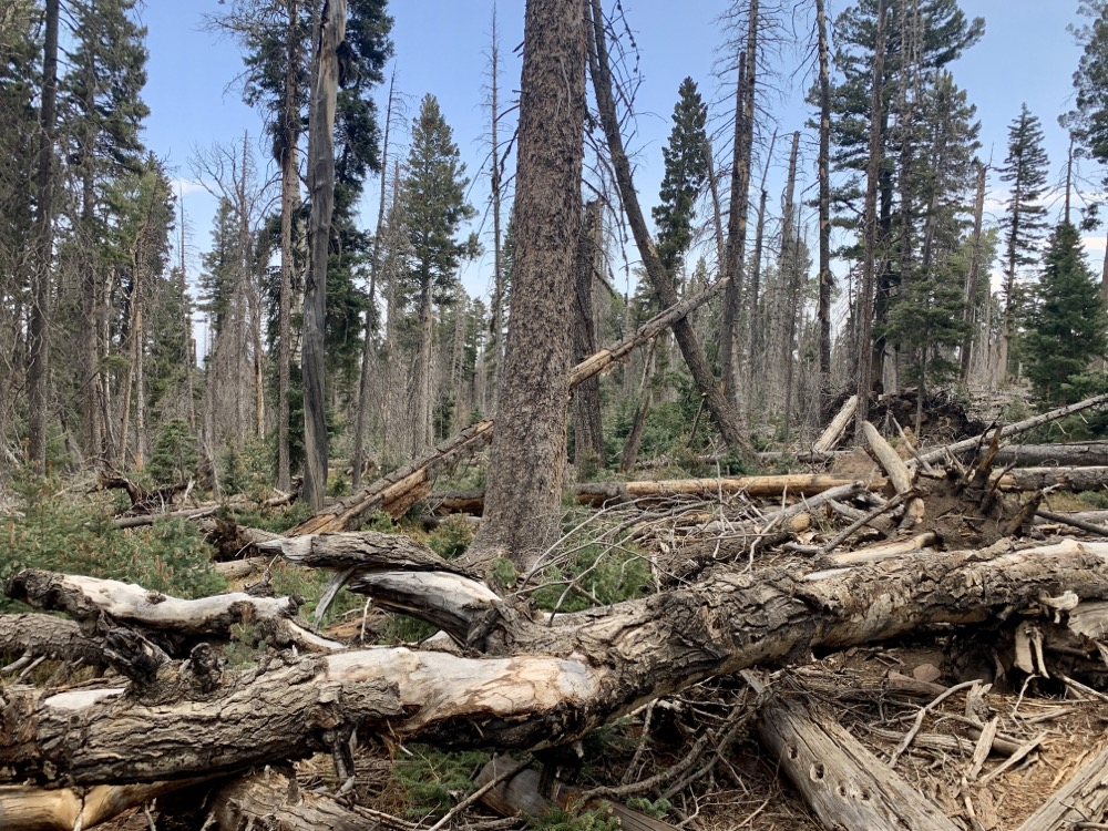 Wind toppled forest